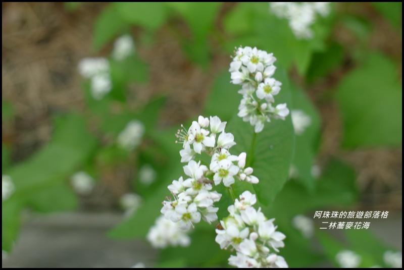 二林蕎麥花海15.JPG