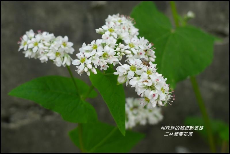 二林蕎麥花海20.JPG