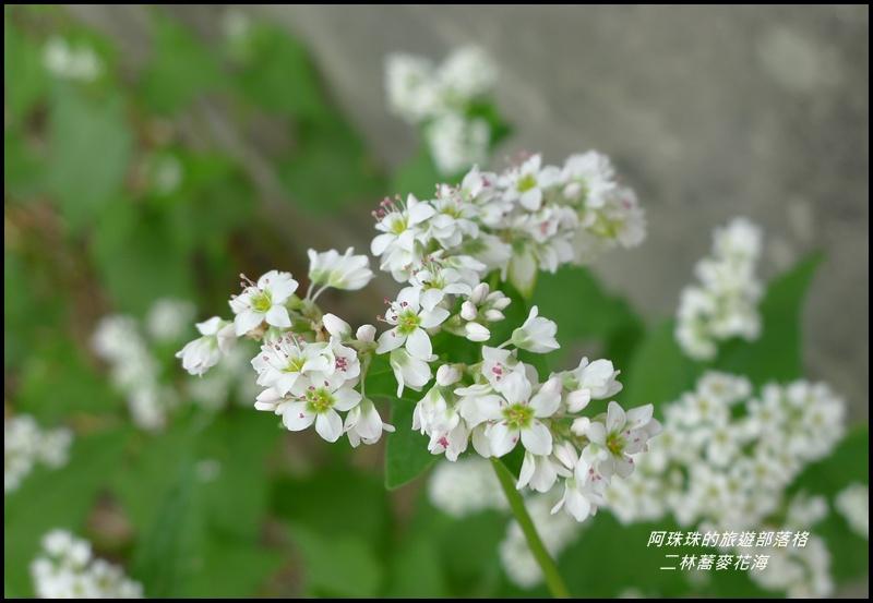 二林蕎麥花海22.JPG