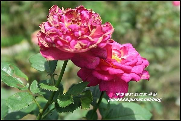玫瑰山谷34.JPG