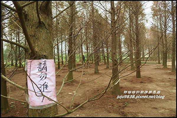 八德落羽松43.JPG