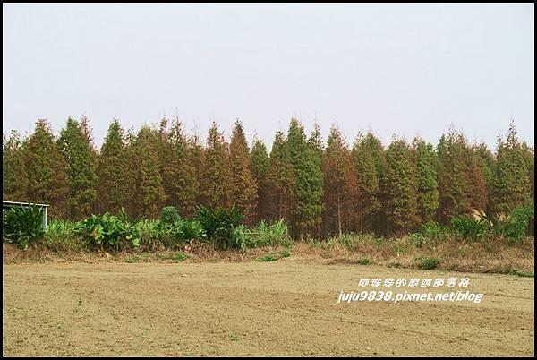 八德落羽松63.JPG