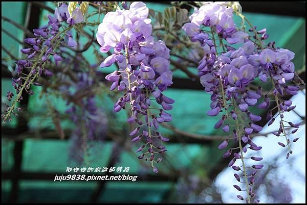 瑞里紫藤花季10.JPG