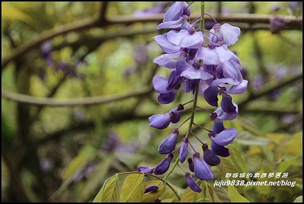 瑞里紫藤花季12.JPG