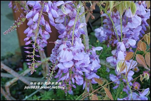 瑞里紫藤花季26.JPG