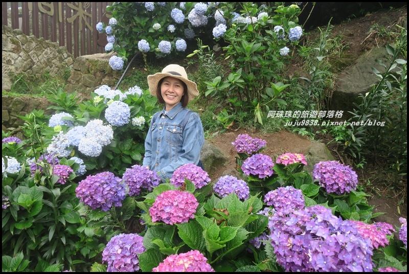 竹子湖繡球花24.JPG