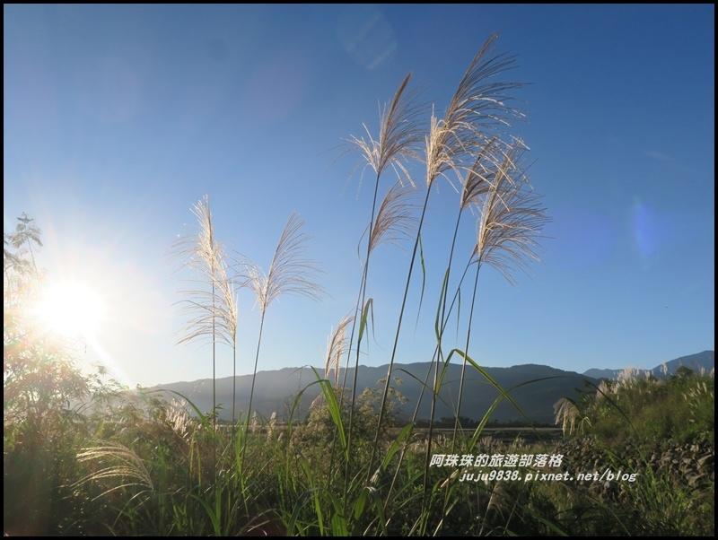 蘭陽溪甜根子草1.JPG