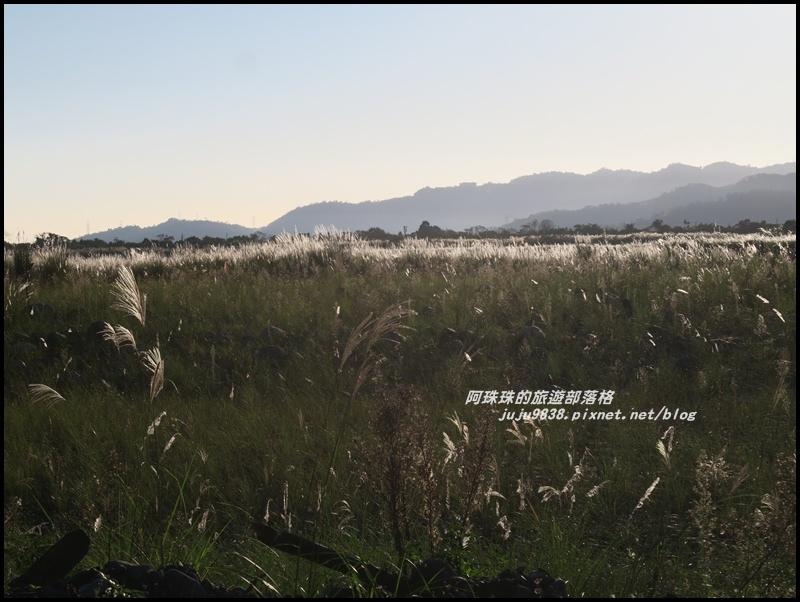 蘭陽溪甜根子草3.JPG