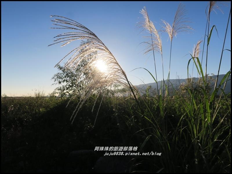 蘭陽溪甜根子草2.JPG