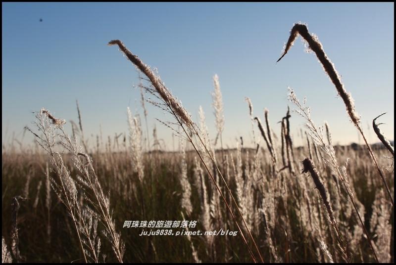 蘭陽溪甜根子草10.JPG