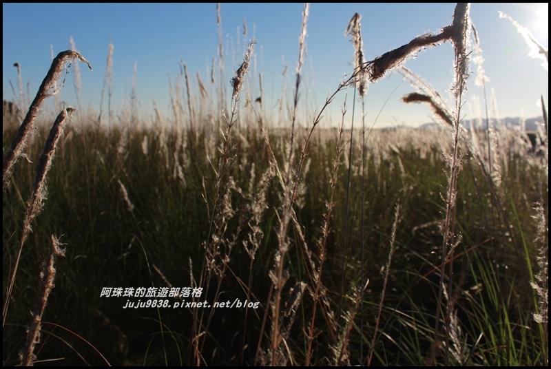 蘭陽溪甜根子草14.JPG