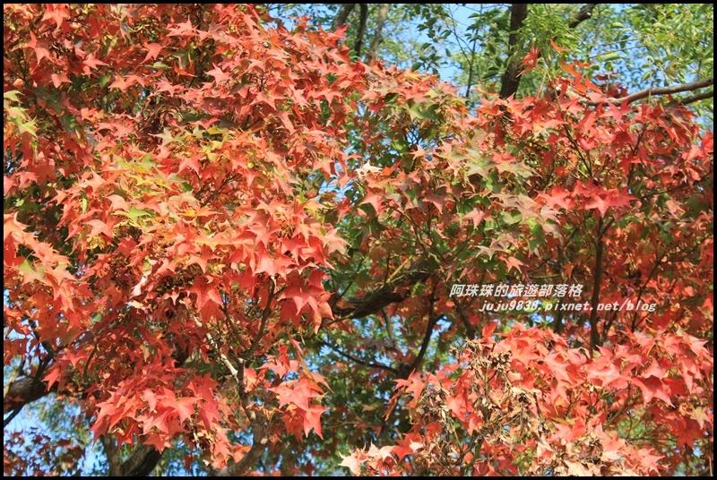 石門水庫楓紅1.JPG