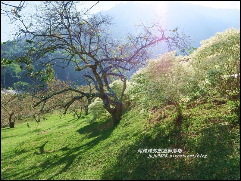 信義柳家梅園15.JPG