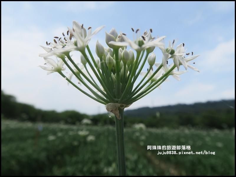 大溪韭菜花季7.JPG