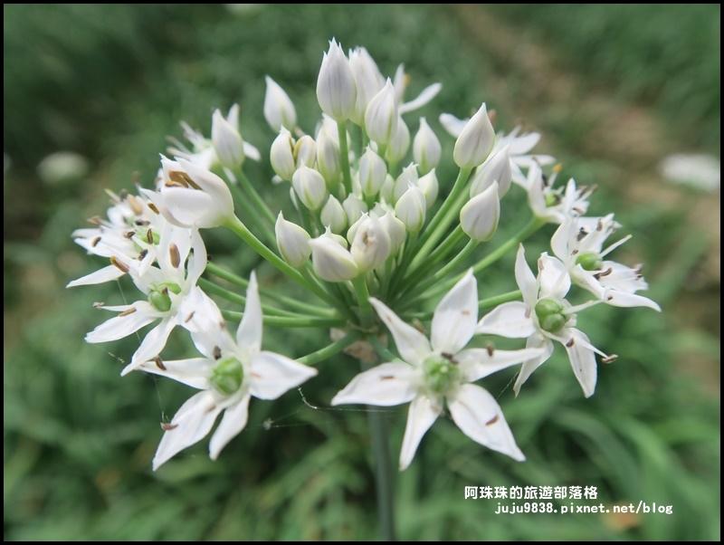 大溪韭菜花季8.JPG