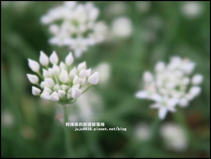 大溪韭菜花季24.JPG
