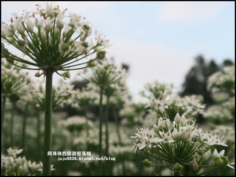大溪韭菜花季26.JPG
