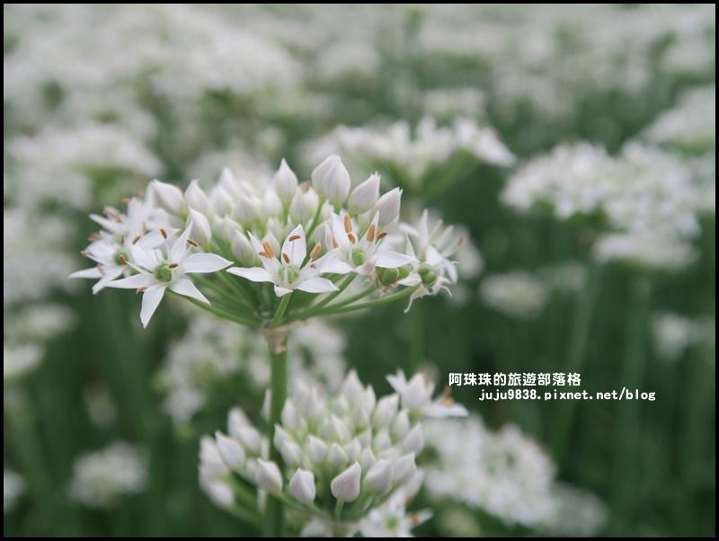 大溪韭菜花季28.JPG