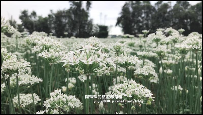 大溪韭菜花季43.JPG