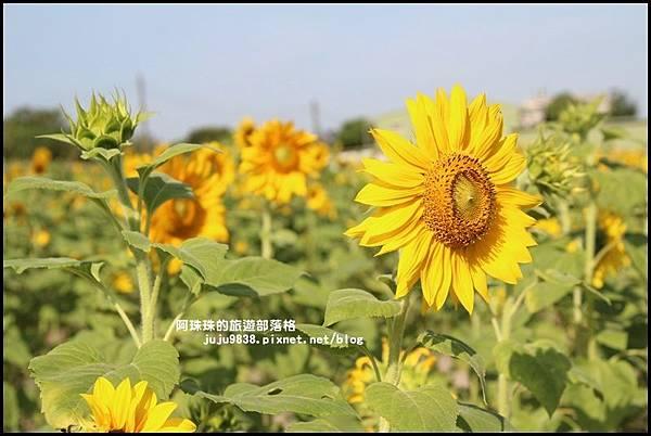 大溪花海8.JPG