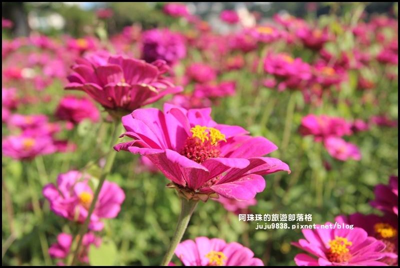 大溪花海19.JPG