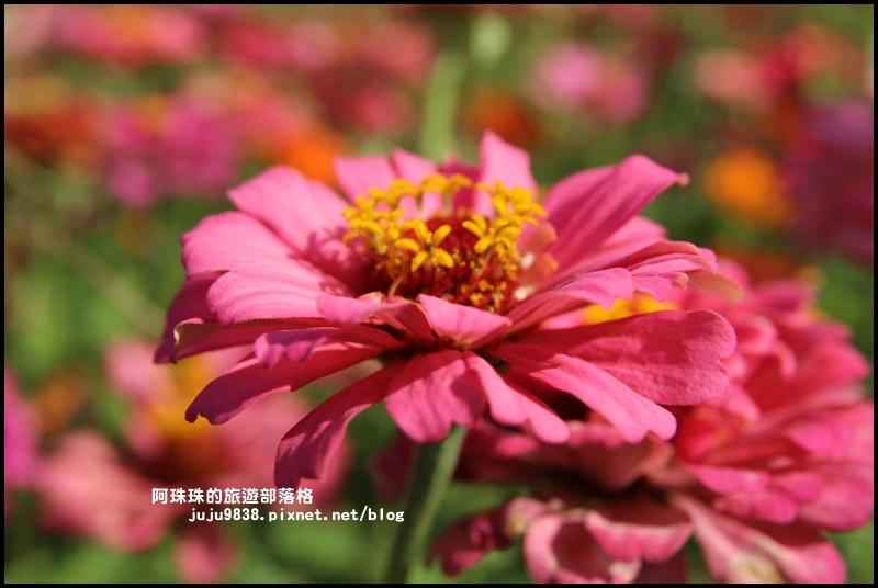 大溪花海21.JPG