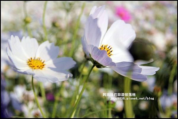 大溪花海54.JPG