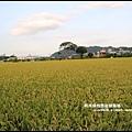 大溪花海65.JPG