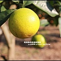 鹿鳴坑觀光果園36.JPG