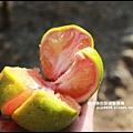 鹿鳴坑觀光果園37.JPG