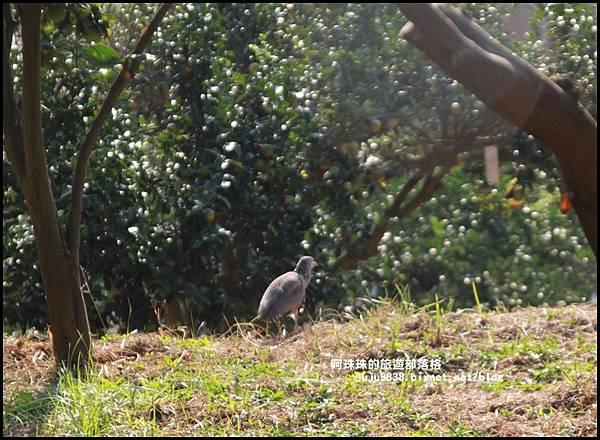 鹿鳴坑觀光果園43.JPG