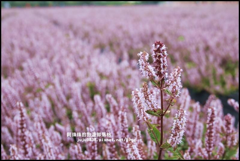 楊梅仙草節36.JPG