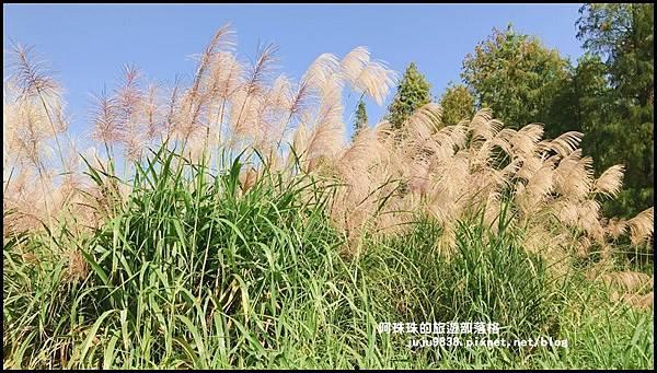 楊梅落羽松秘境37.JPG