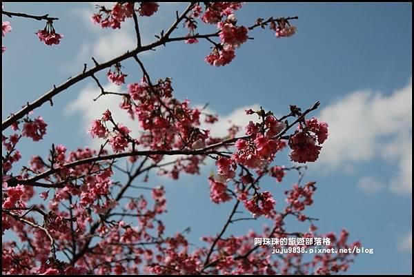 花園新城櫻花1.JPG
