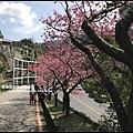花園新城櫻花19.JPG