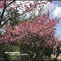 花園新城櫻花18.JPG