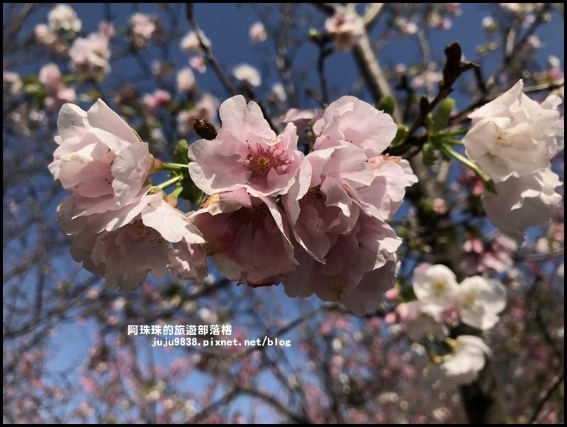 平鎮賞櫻花9.JPG
