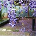 工二路紫藤花5.JPG