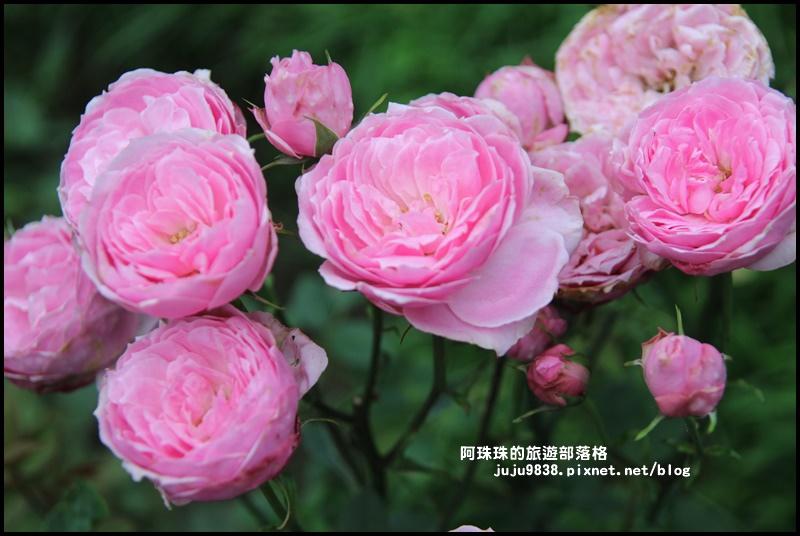 雅聞七里香玫瑰森林18.JPG