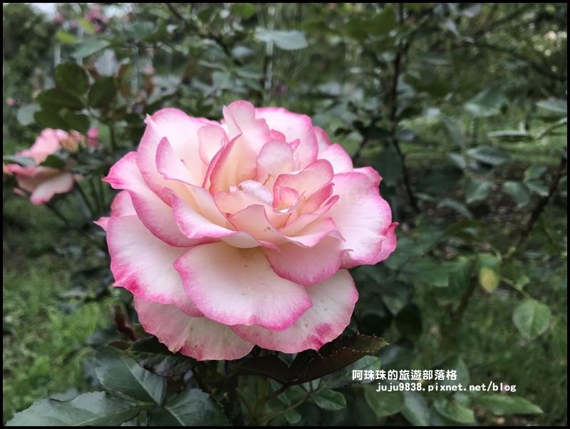 雅聞七里香玫瑰森林31.JPG