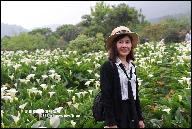 竹子湖海芋季31.JPG