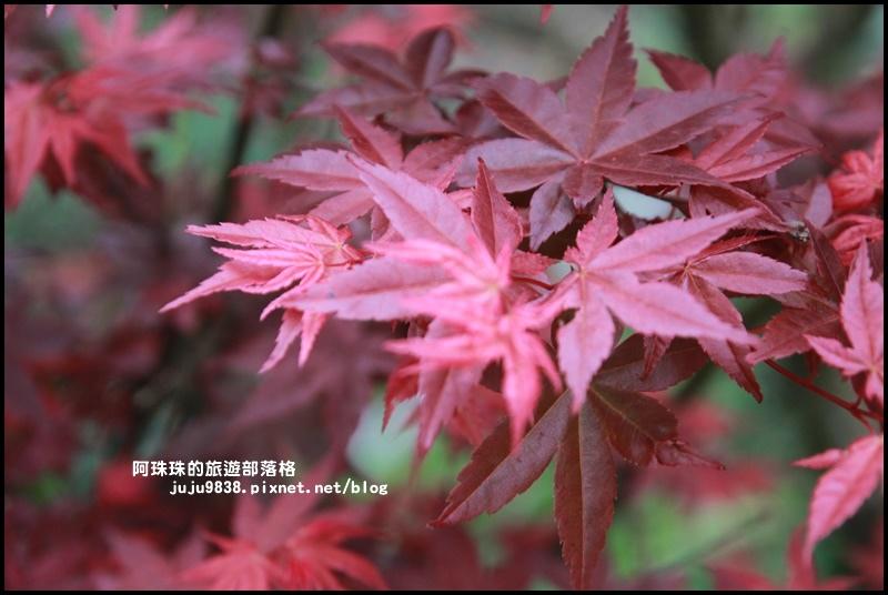 竹子湖海芋季33.JPG