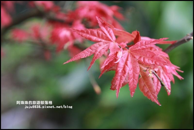 竹子湖海芋季29.JPG