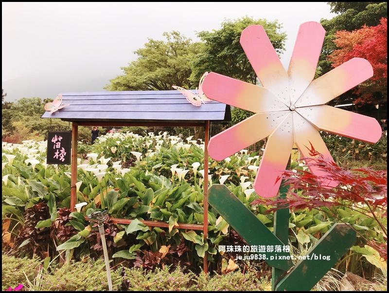 竹子湖海芋季62.JPG