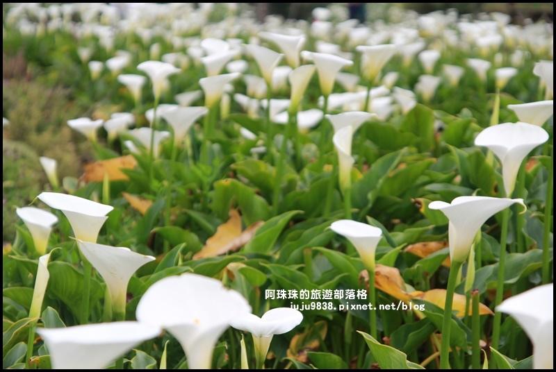 竹子湖海芋季6.JPG