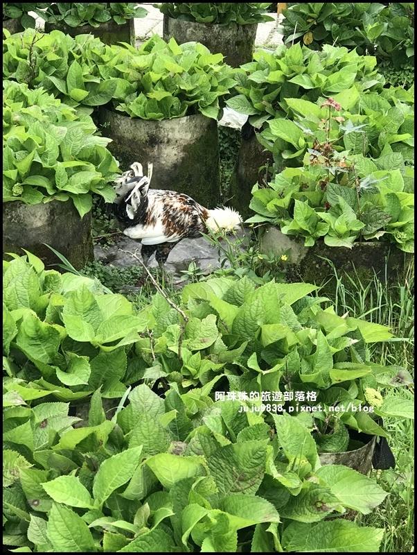 竹子湖海芋季55.JPG