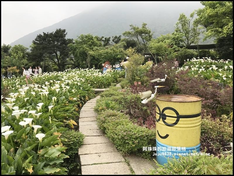 竹子湖海芋季44.JPG