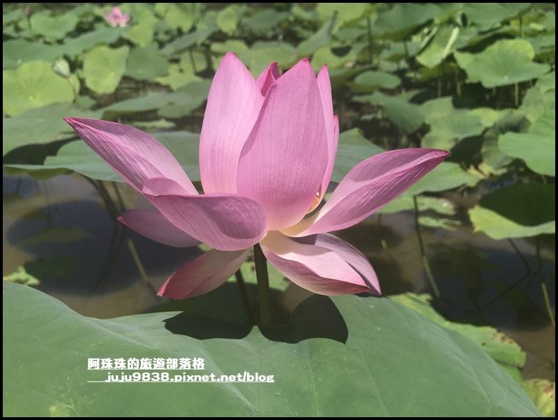 雙溪荷花園7.JPG
