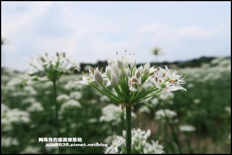 大溪韭菜37.JPG