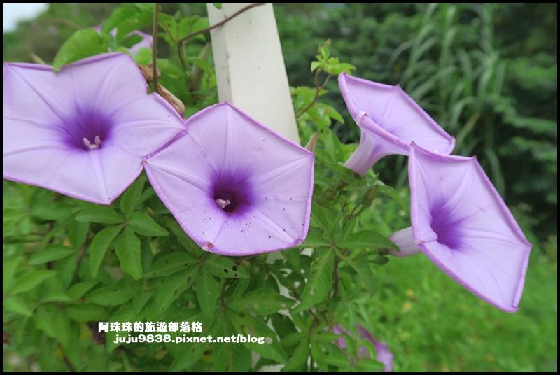 大溪韭菜57.JPG